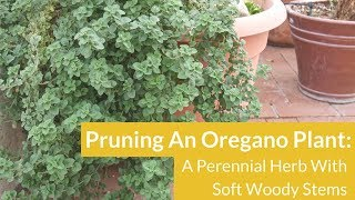 Pruning Overgrown Oregano / Joy Us Garden