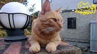 秋頃の動画です。 玄関の門で家を警備しているひろし君。 番猫をしてい...