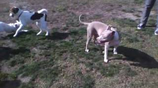 Zoey Dog Park Day 2 Boxer Vs Husky/beagle, Golden Retriever