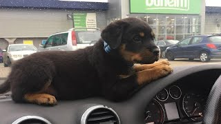 Best Of Cute Rottweiler Puppies Compilation - Funny Dogs 2020