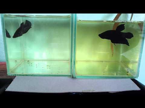 เทียบปลากัดหม้อสีดำ