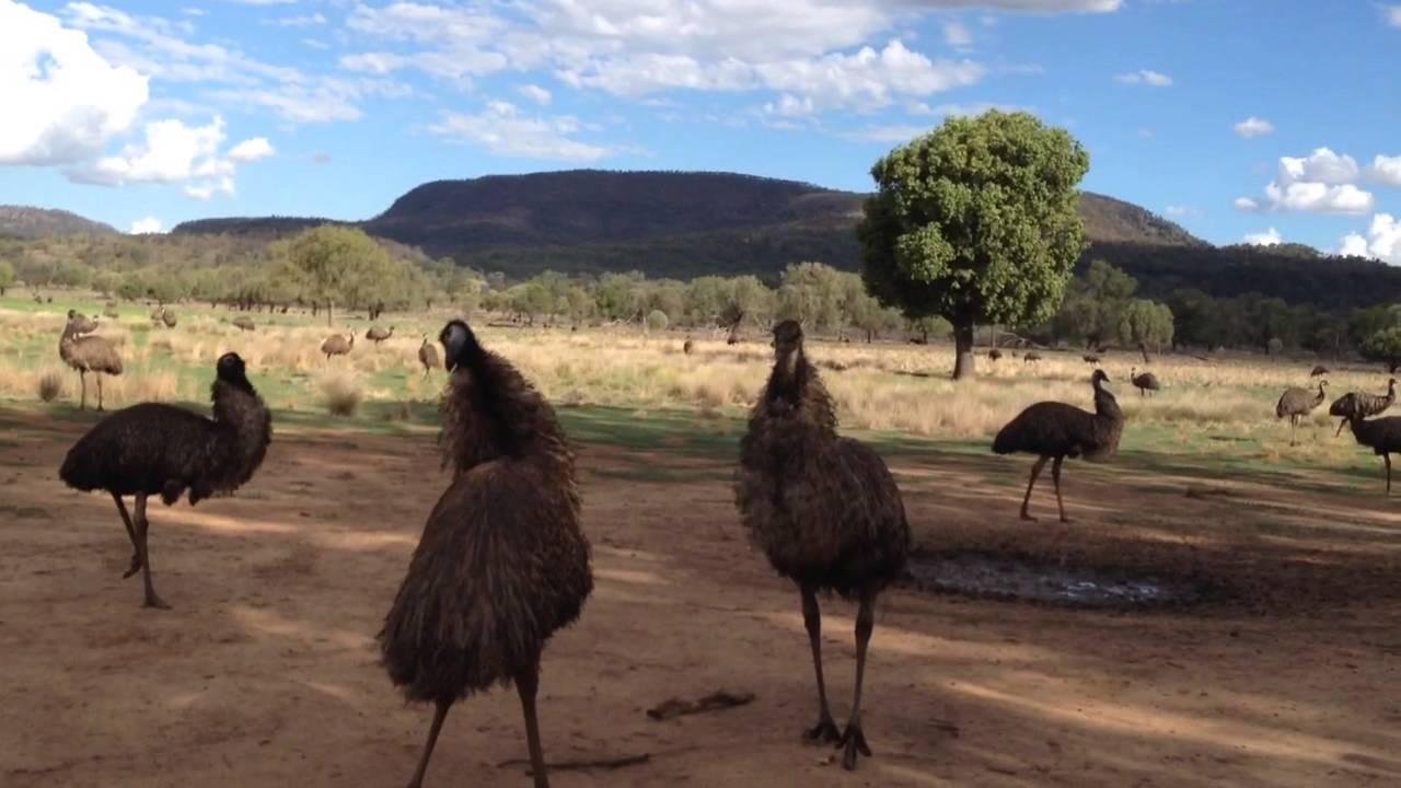 emus of australia youtube