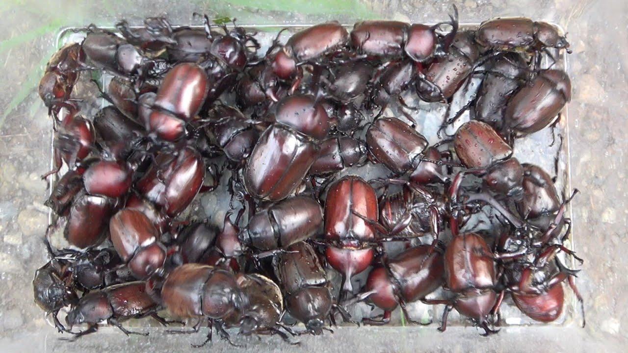 大量のカブトムシを確実に捕まえる方法。採集の基礎 How to catch many beetles