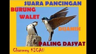 INI DIA SUARA WALET YANG PALING BAGUS SEDUNIA | BEST SONG OF SWIFTLET IN THE WORLD