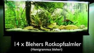 160 Liter Aquarium - Südamerika: Hemigrammus bleheri, Corydoras paleatus, Apistogramma agassizii