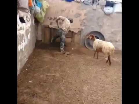So Many Goats For FARMAAJO (sSomali president) thumbnail