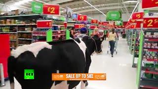 Cows in Asda moo-ve against milk prices