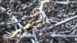 [ BUG WARS ] Ants vs Millepede