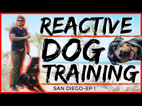 Rottweiler Attacks other dogs - Aggressive Dog Training with Americas Canine Educator