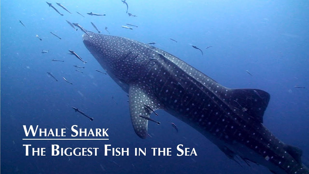 the biggest fish in the sea whale shark hd koh tao