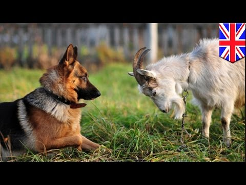 แพะแสนรู้ไม่แพ้สุนัข เข้าใจและสื่อสารกับมนุษย์ได้