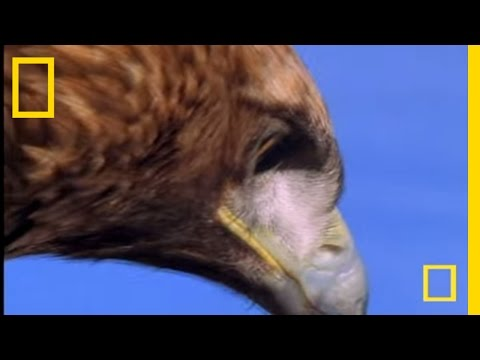Golden Eagle vs. Hare | National Geographic