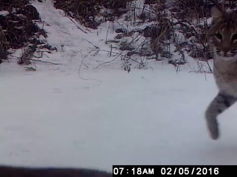 Bobcats in Galena, Illinois caught on camera