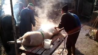 Conciatura maiale
