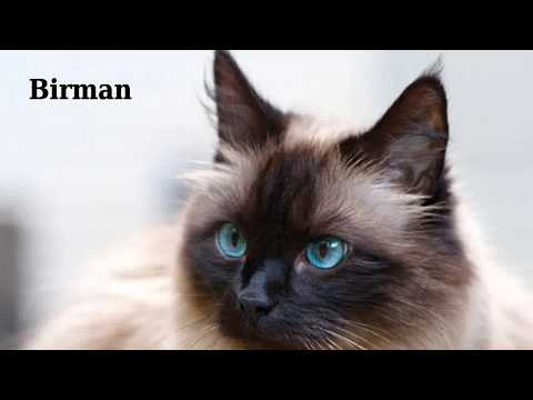 Birman - domestic cat breed