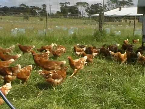 Organic Farming - Free Range Eggs, How to