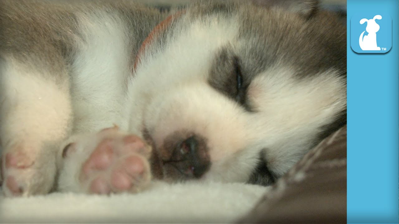 Why is My Puppy Shaking While Sleeping?