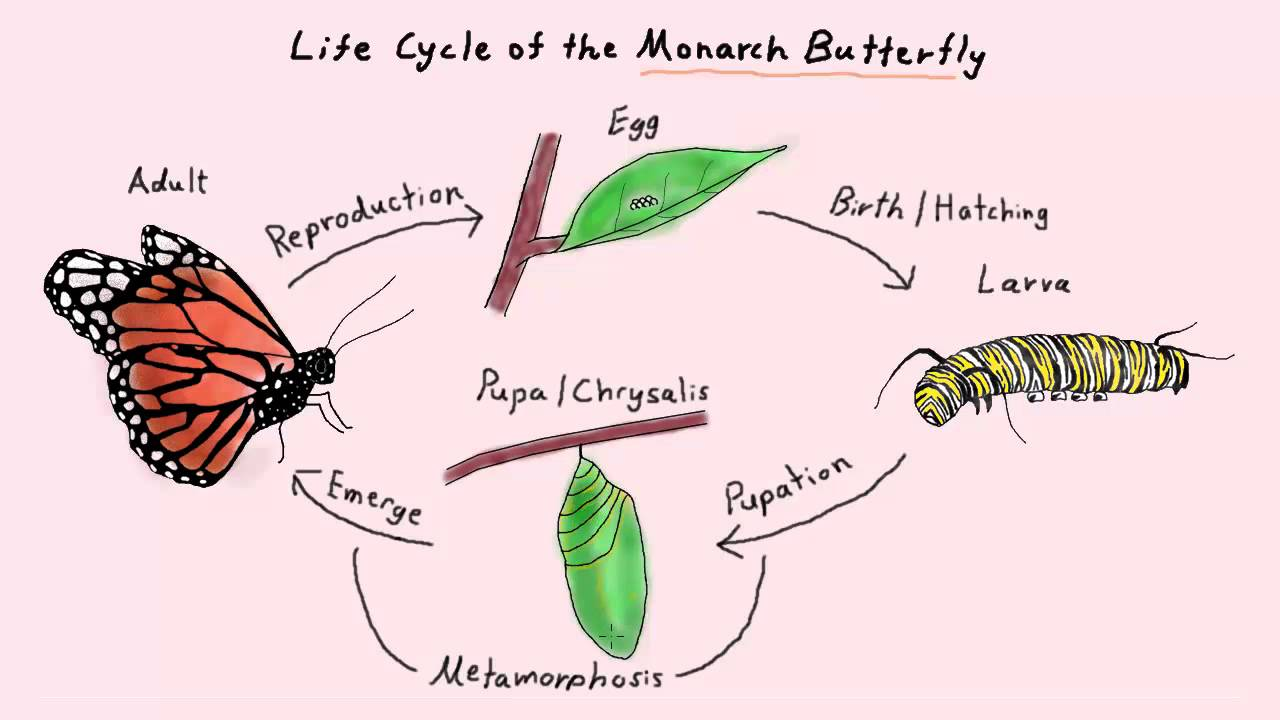 Life Cycle of the Monarch Butterfly Part 2 (K-2 Life Sciences ...