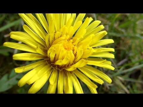 Dandelions - Taxacum - Túnfífill - Fífill - Villijurt  -  Gul blóm