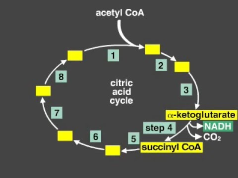 Citric Acid Cycle Explanation Krebs Cycle Youtube