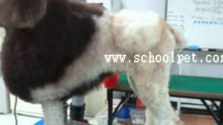 Standard Poodle Creative Lion Clip