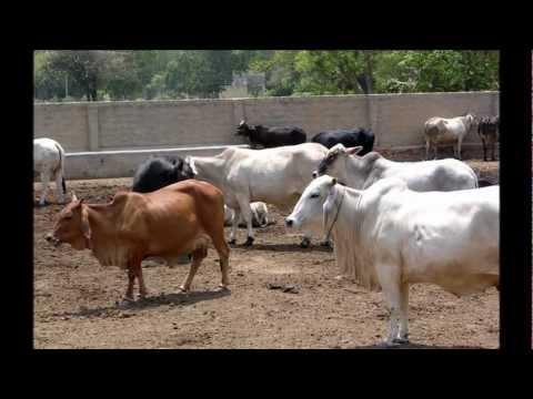 Gau raksha (cow protection) bhajan by Bajrangi Soniji