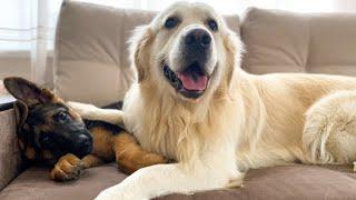 Golden Retriever Become Best Friend for German Shepherd Puppy!