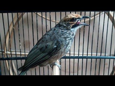 Burung Cucak Rawa Rowo Gacor Youtube