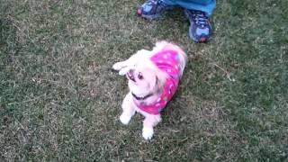 Dog Having An Epileptic Seizure
