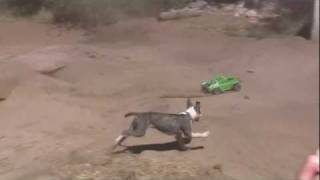RC Car vs Pitbull Puppy