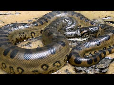 Thumbnail: Giant Snake! Biggest Anacondas (Real and Fake)
