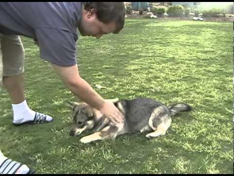 Swedish Vallhund Does Simple Tricks (8 Months)