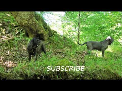 Exercising Three Neapolitan Mastiffs Together