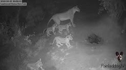 Amazing LIVE cam animal interaction just after midnight this morning