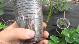 Супер способ размножения клубники.