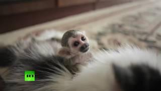 В Тюмени домашняя кошка заменила брошенной обезьянке маму