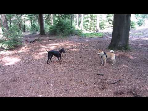 Chester the Manchester Terrier and his short love story