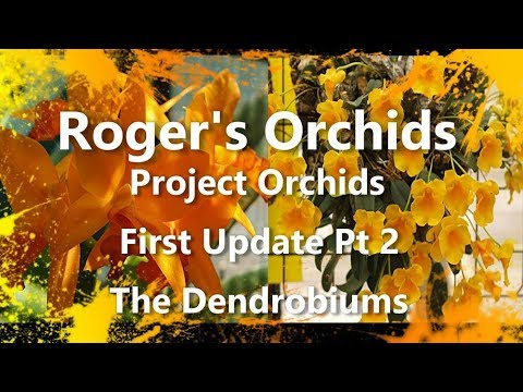 Project Orchids First Update Pt 2 (The Dendrobiums)