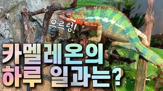 팬서 카멜레온의 하루! animal vlog-Chame…