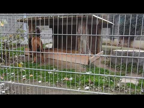 爪を研ぐバーバリライオンのオス Barbary Lion 2015 1115 0029
