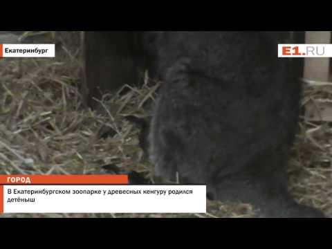 В Екатеринбургском зоопарке у древесных кенгуру родился детёныш