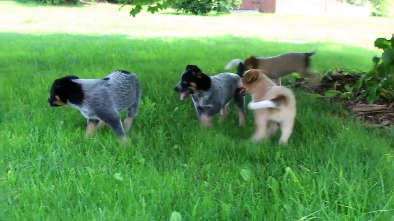 Blue Heelers For Sale : Blue heeler puppies for sale youtube