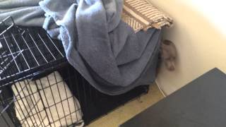 Weimaraner Puppy Escapes Out Of Pen 1
