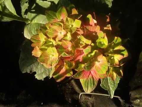 Hydrangea macrophylla Forever & Ever Pistachio (SAXON 'Schloss Wackerbarth') 2015г.