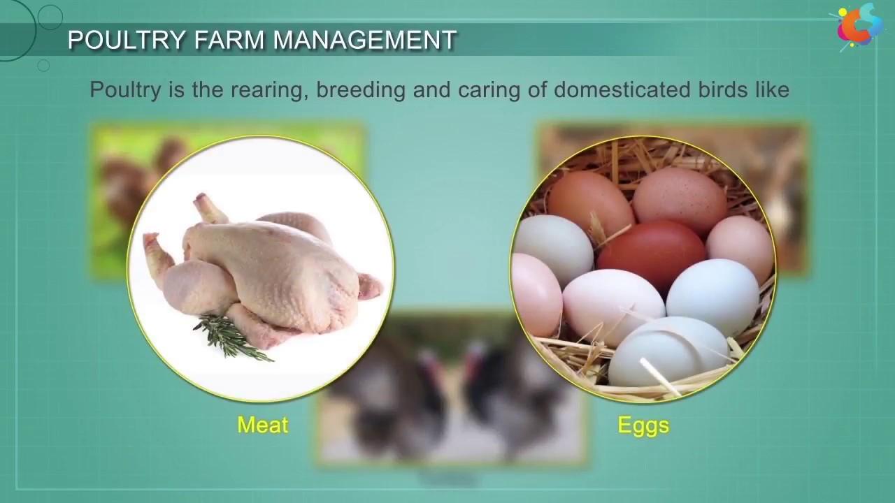 Poultry Farm Management