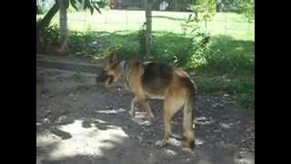 German Shepherd Recovers From Temporary Paralysis In Dumaguete City