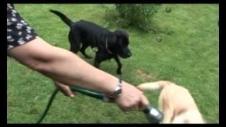 Tier.tv Klasse Rasse Im Portrait: Der Labrador Retriever
