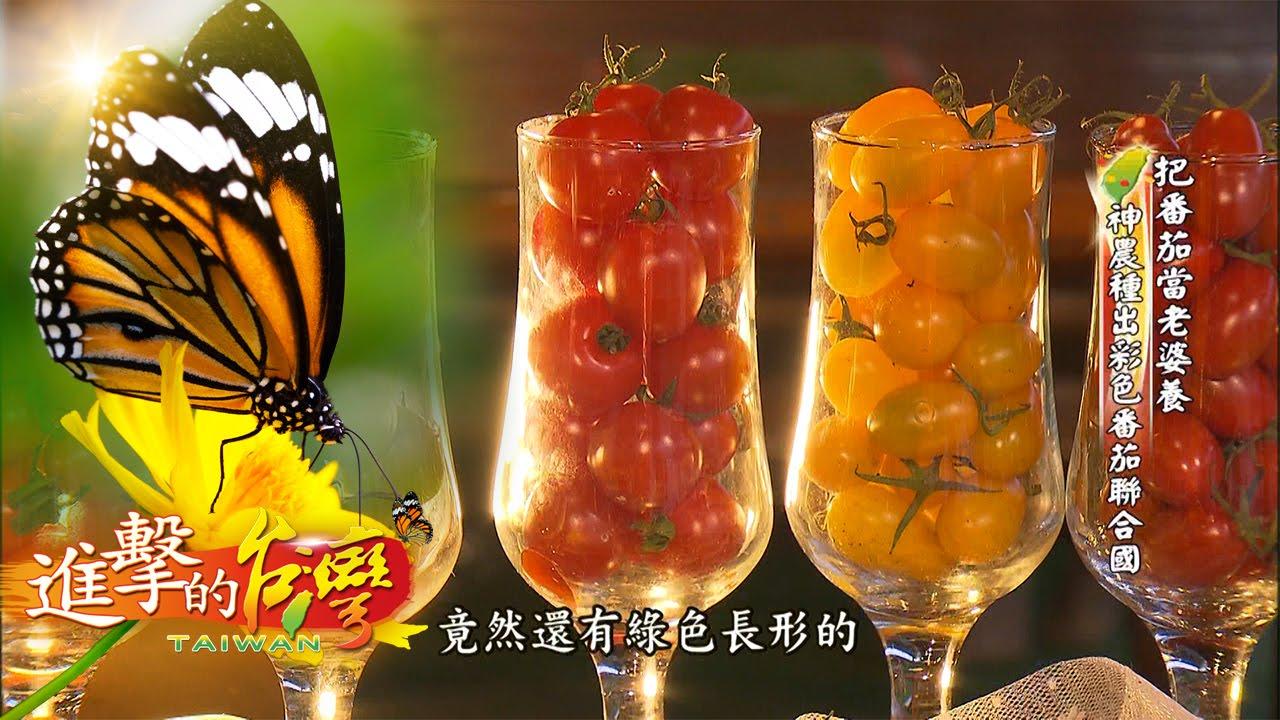 把番茄當老婆養 神農種出彩色番茄聯合國--第020集《進擊的臺灣》 - YouTube