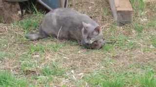Деревенская кошка поймала огромную крысу!