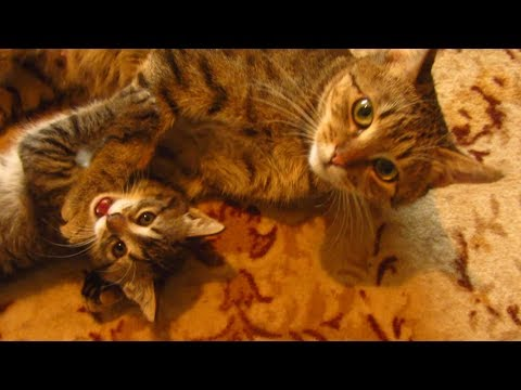 Mother cat plays with Kitten forty first day in the apartment